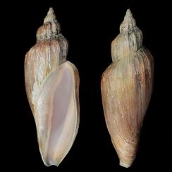 Fulgoraria Concinna (1)