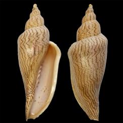Fulgoraria Ericarum (1)