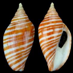 Harpulina Arausiaca (1)