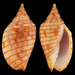 Harpulina Arausiaca F. Vexillum (5)