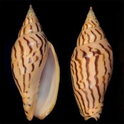 Harpulina Lapponica Loroisi (2)