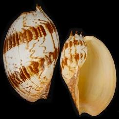 Melo Amphora (3)