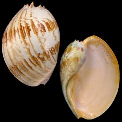 Melo Umbilicatus (2)