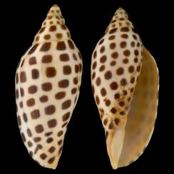 Scaphella Junonia (1)