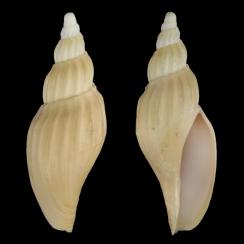 Fulgoraria Chinoi (1)