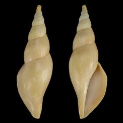 Fusivolata Barnardi (4)