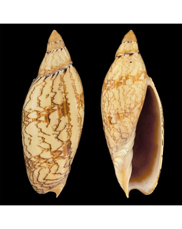 Amoria Damonii