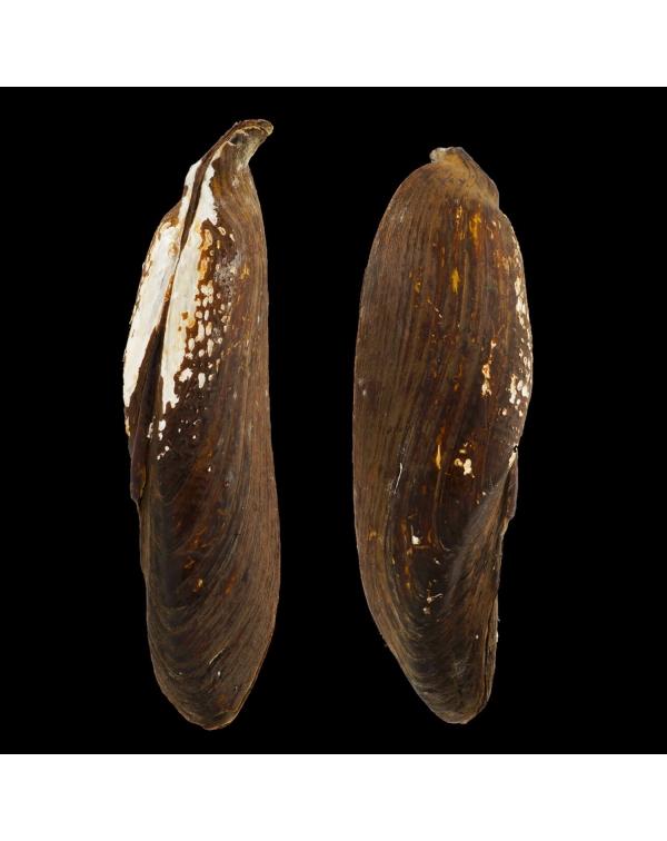 Arconaia Lanceolata