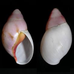 Archachatina Marginata Grevillei  (1)