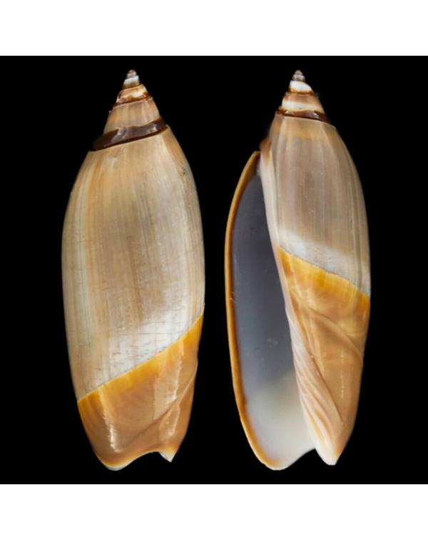 Agaronia Propatula (Ancilla)