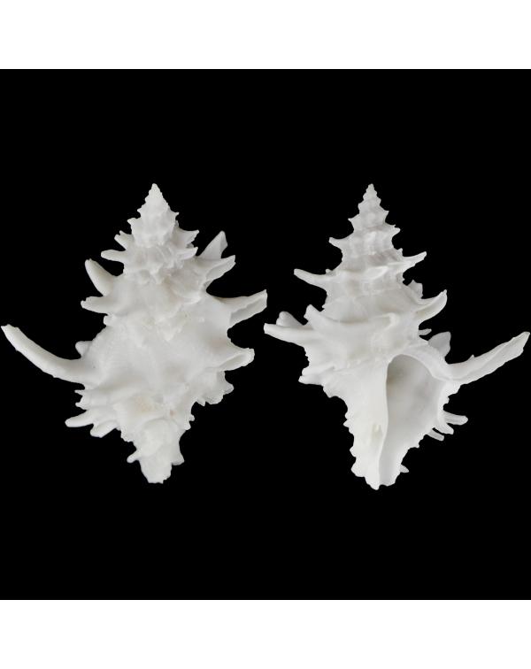 Babelomurex Diadema White