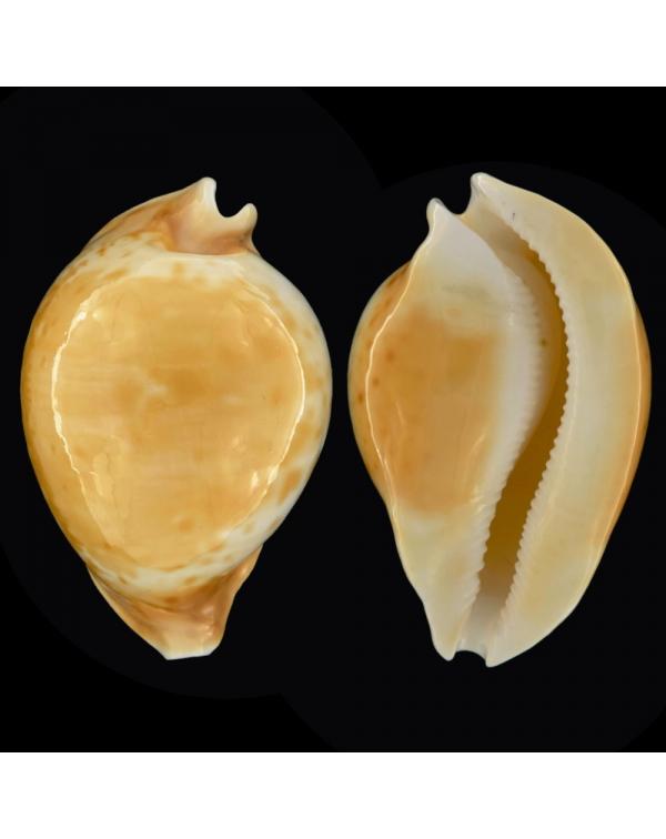 Cypraea Armeniaca