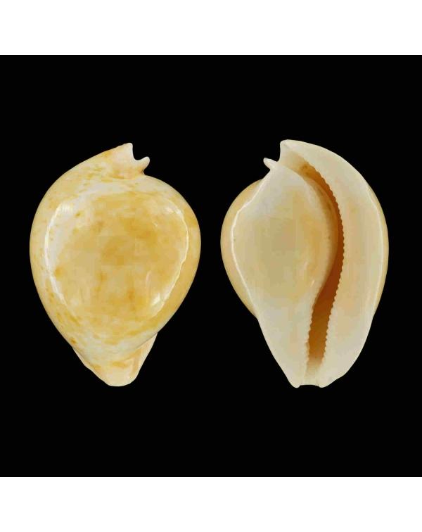 Umbilia Armeniaca