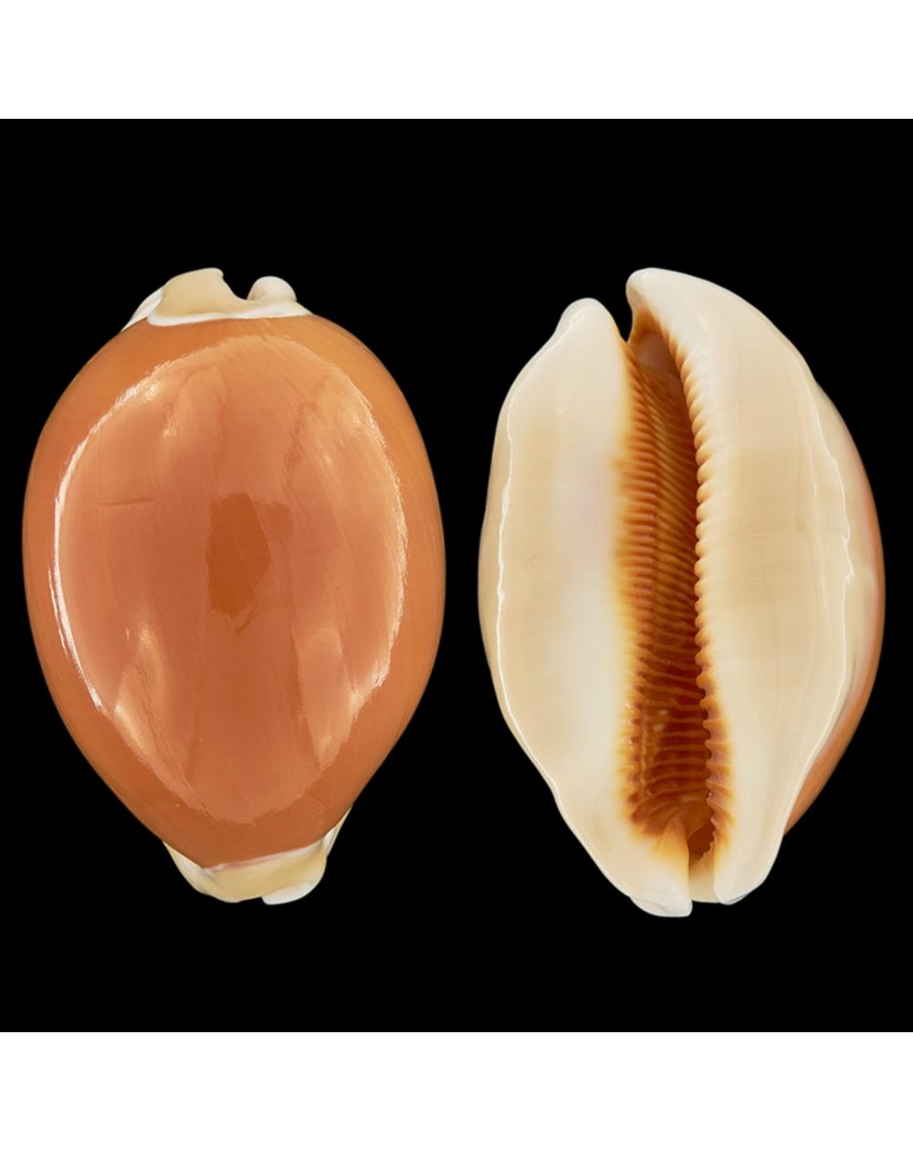 Cypraea Aurantium