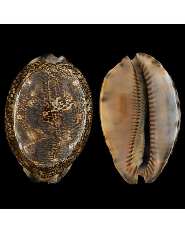Mauritia Arabica Immanis