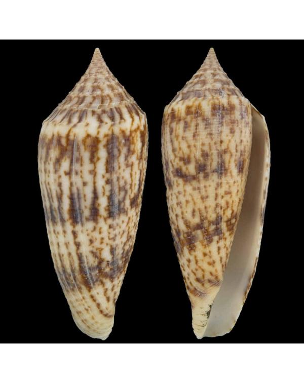 Conus Australis