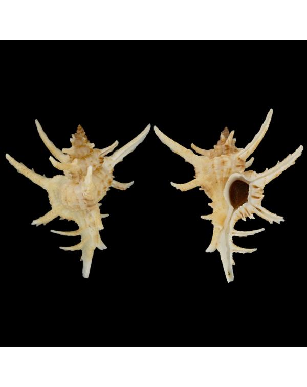 Chicoreus Axicornis