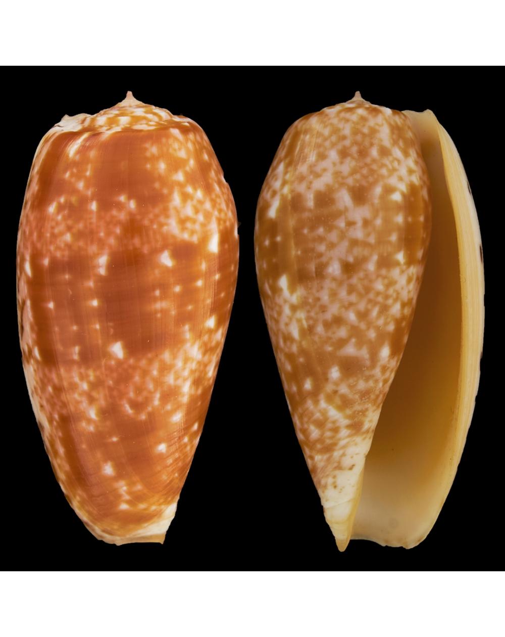 Conus Bullatus