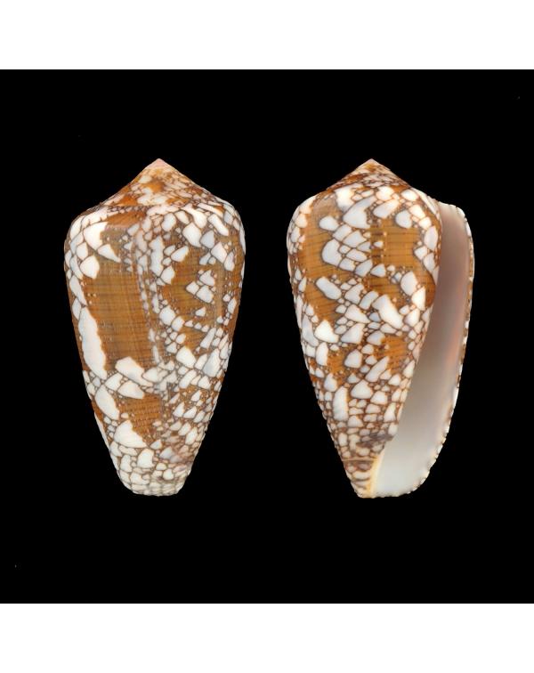 Conus Behelokensis