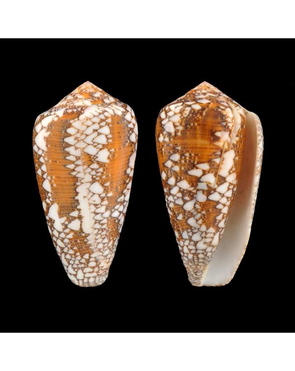 Conus Behelokensis XXL