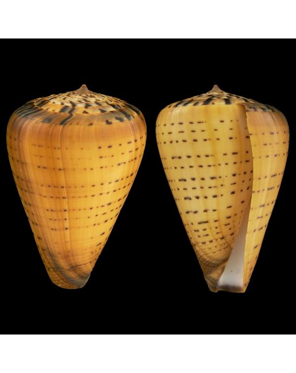 Conus Betulinus Zulu