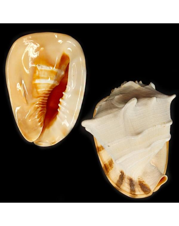Cassis Cornuta XL