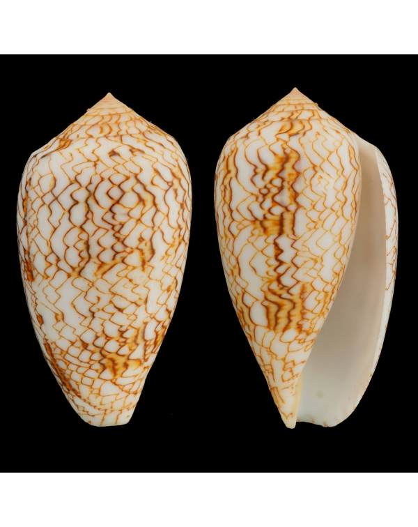 Conus Textile Vaulberti