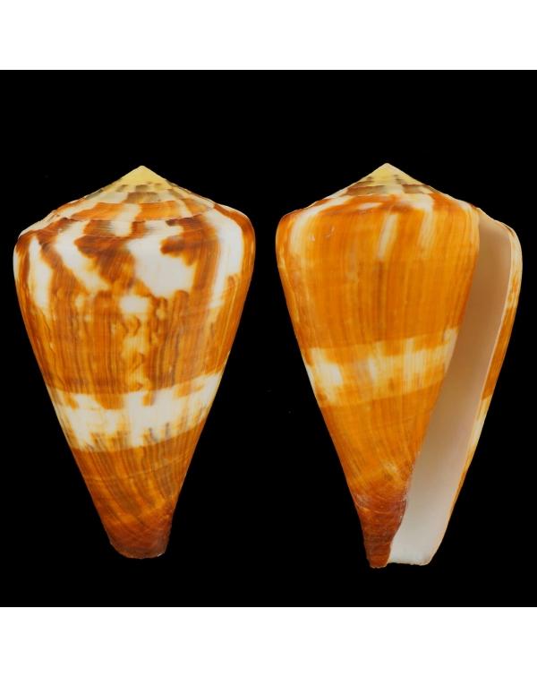 Conidae Conus Vexillum