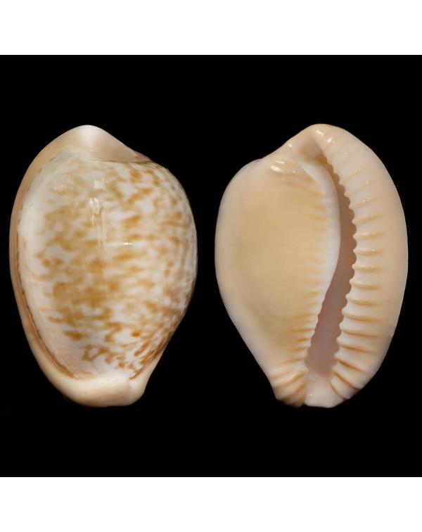 Cypraeovula Fuscorubra