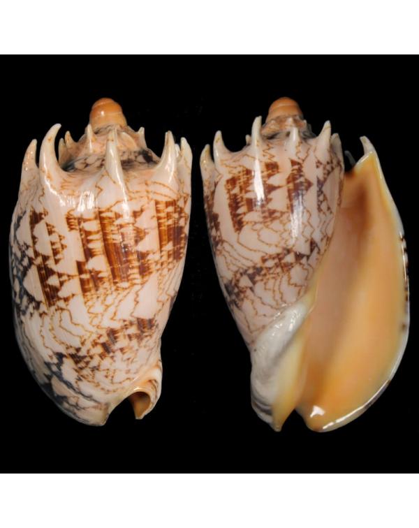 Cymbiola Imperialis