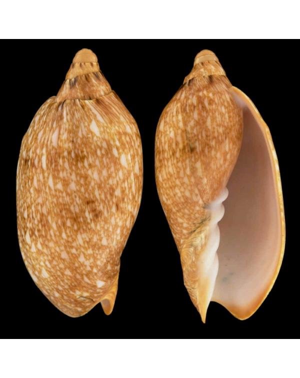 Cymbiola Innexa f. Marispuma