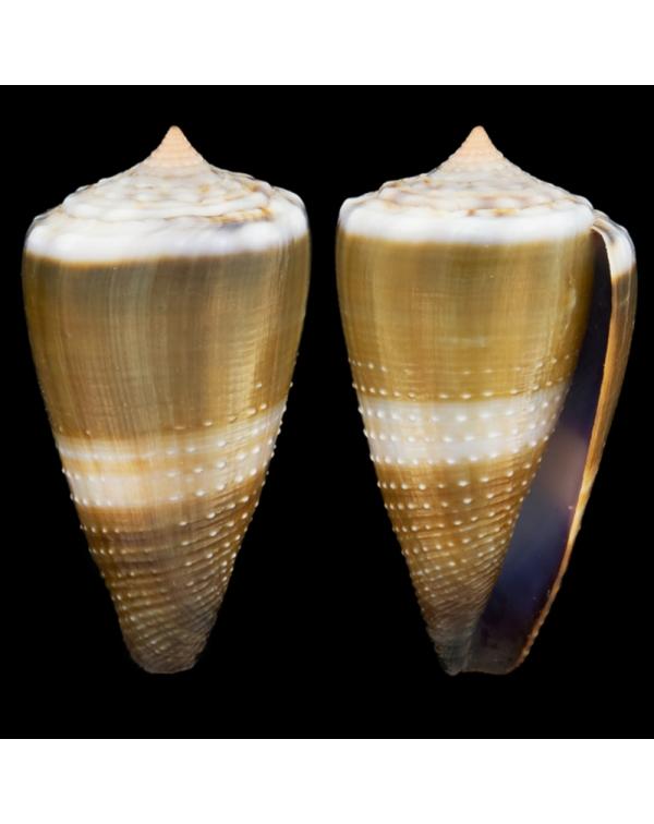 Conus Lividus