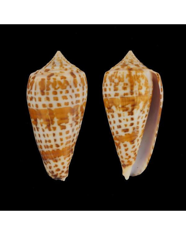 Conus (Phasmoconus) Lynceus