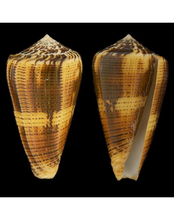 Conus Magus Circae