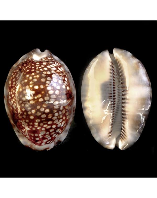Cypraea Maculifera