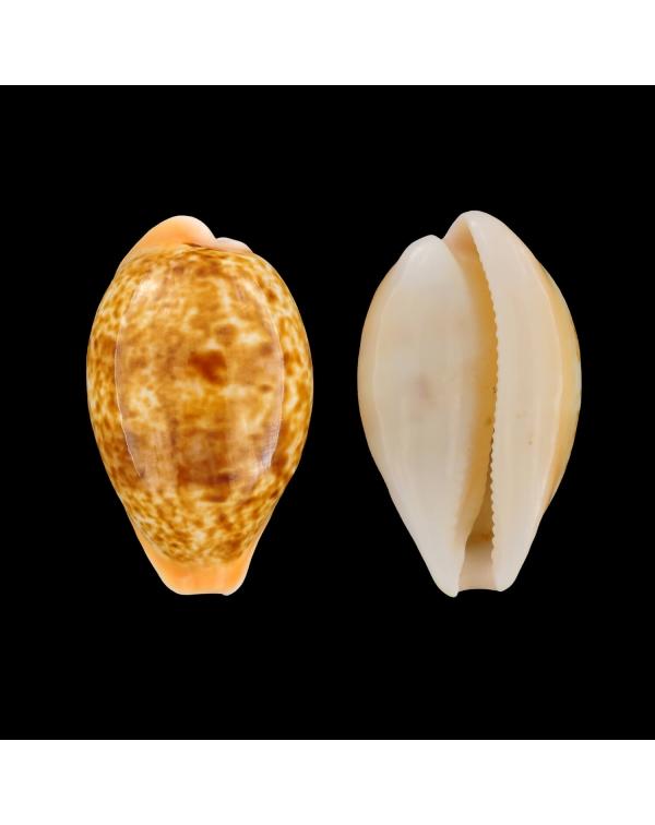 Cypraea Arabica Immanis