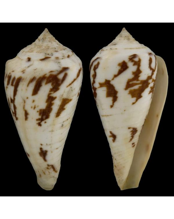 Conus Pergrandis