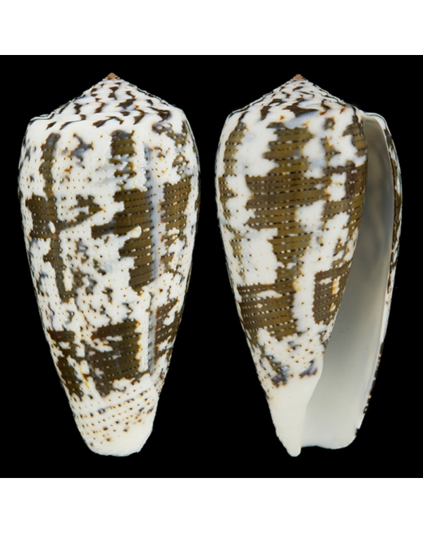 Conus (Pioconus) Magus