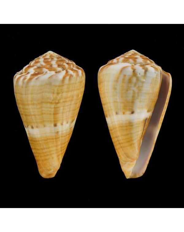 Conus (Rhizoconus) Namocanus