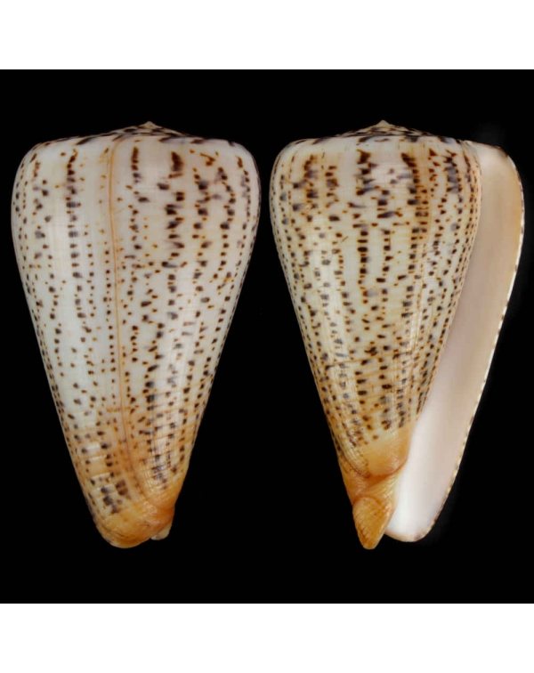 Conus Dendroconus Suratensis
