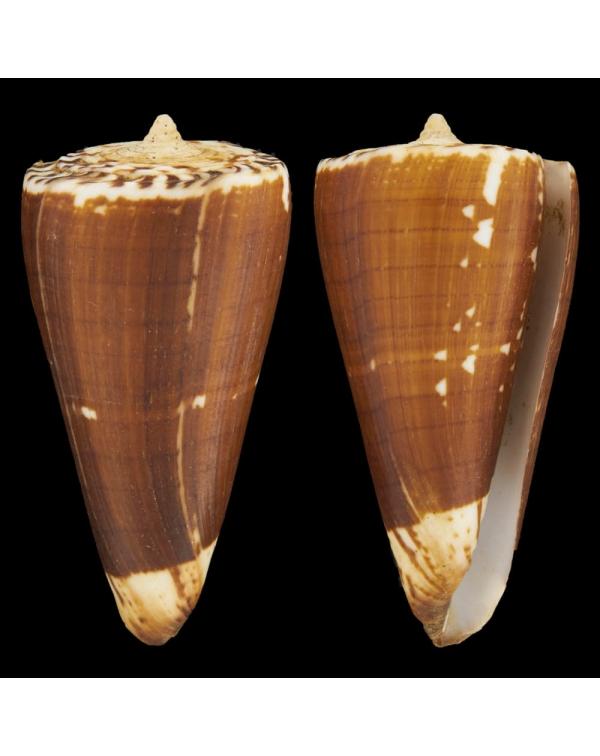 Conus (Strategoconus) Maldivus