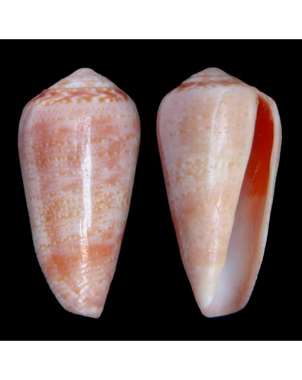 Conus Solangeae