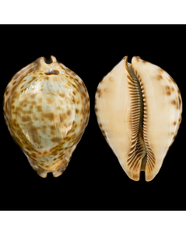 Cypraea (Trona) Stercoraria