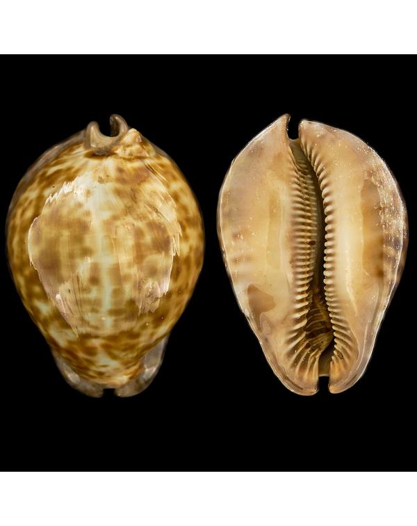 Cypraea (Trona) Stercoraria Rattus