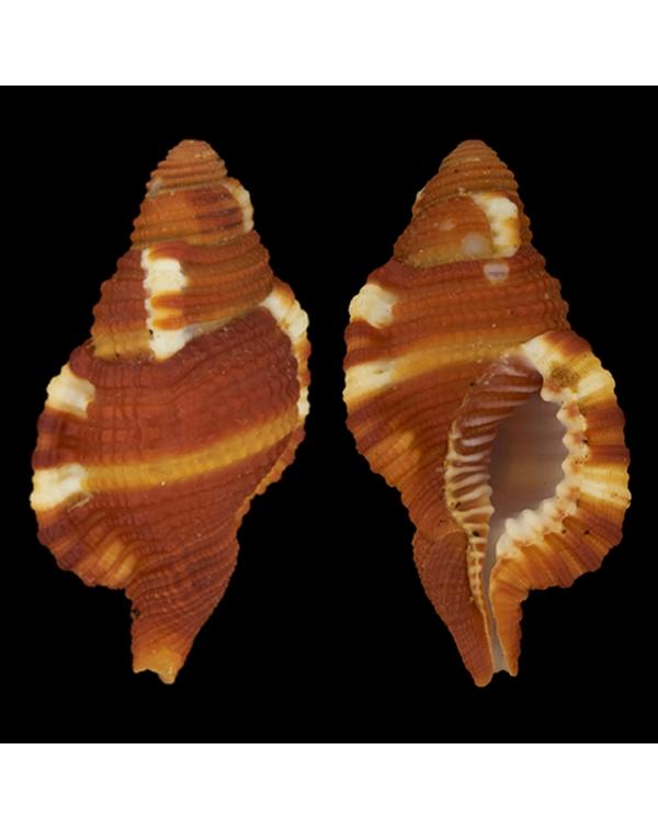 Cymatium (Septa)  Rubeculum