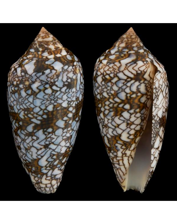Conus Textile f. Albospiratus