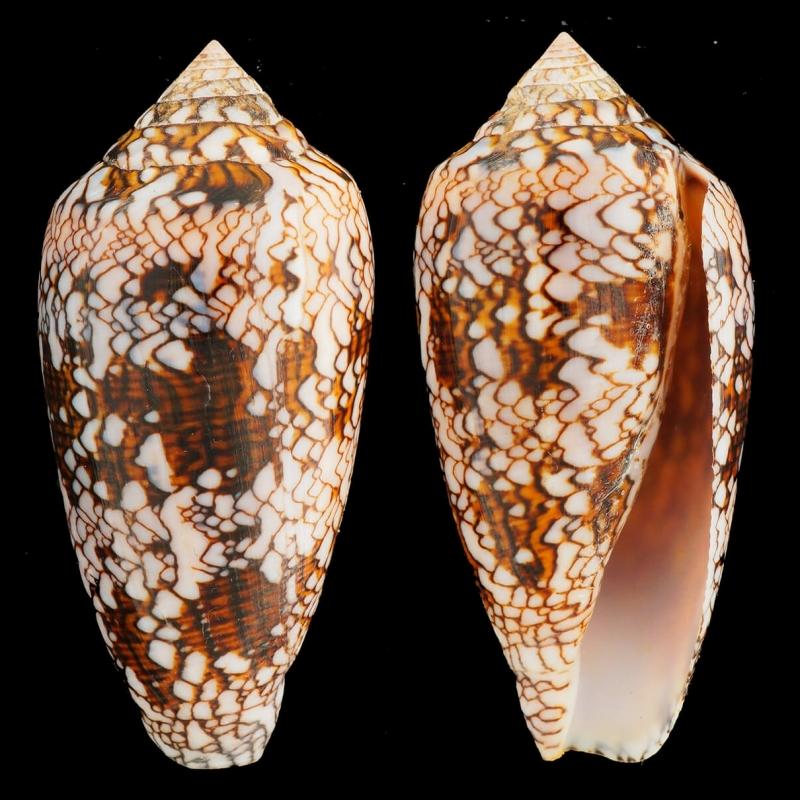 Conus Textile Albospiratus