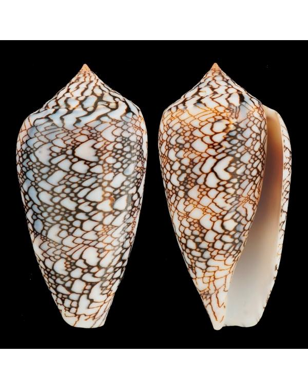 """Conus Textile Albospiratus """"Snake"""""""