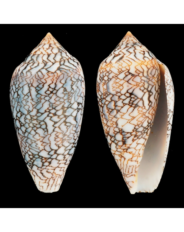 "Conus Textile f. Albospiratus ""Snake"""