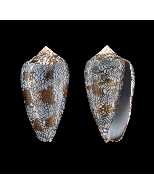 Conus (Blue Form) Textile Textile